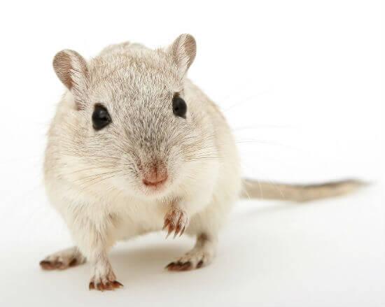 muis bestrijding